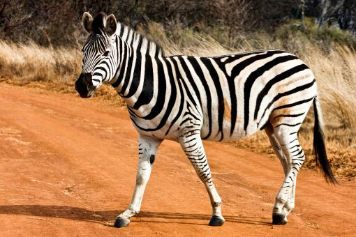 Free Stock Photo of Strutting Zebra