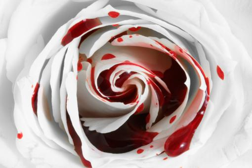 Free Stock Photo of Blood Rose Macro
