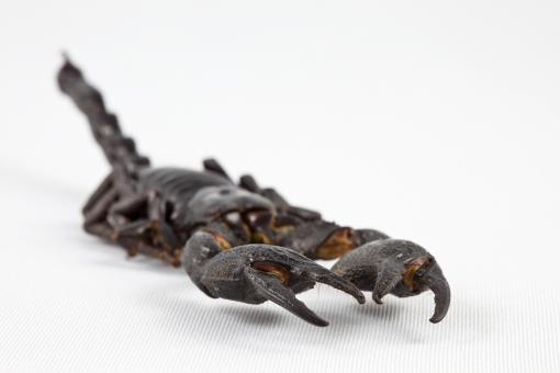 Free Stock Photo of Black Scorpion Close-up