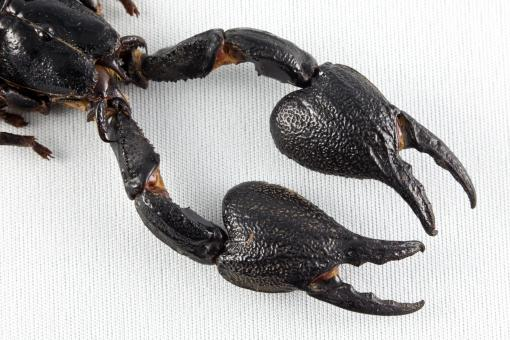 Free Stock Photo of Black Scorpion Claws