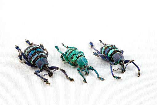 Free Stock Photo of Eupholus Beetle Trio