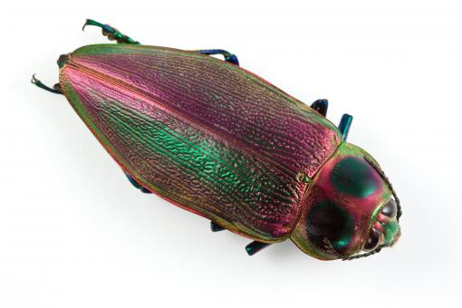 Free Stock Photo of Euchroma Gigantea Beetle