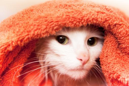 Free Stock Photo of cat in towel
