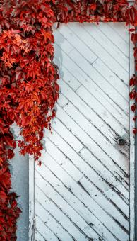 Free Stock Photo of Door vine