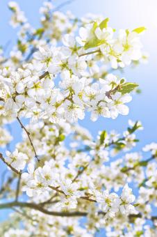 Free Stock Photo of White Spring Flowers Against a Blue Sky