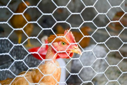 Free Stock Photo of Chicken