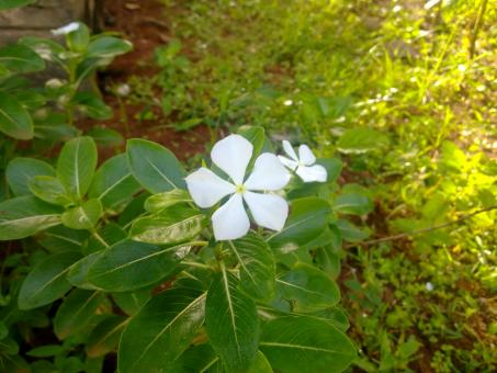 Free Stock Photo of White Savam Nari Flower