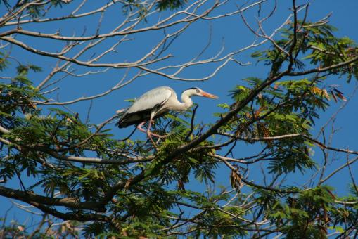 Free Stock Photo of Grey Heron