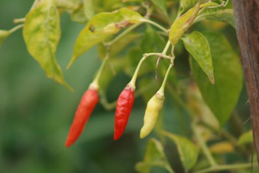 Free Stock Photo of Three Chilies