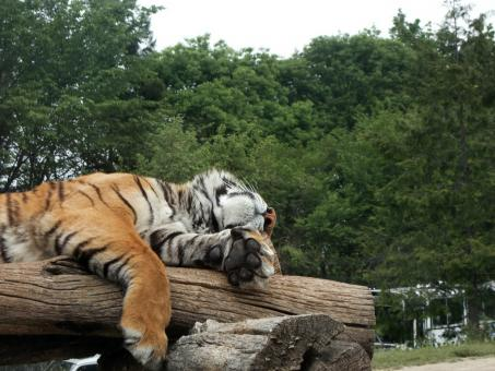 Free Stock Photo of Relaxing Tiger