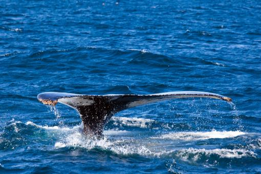 Free Stock Photo of Humpback Whale