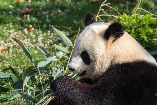Free Stock Photo of Giant panda