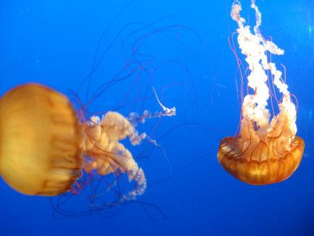 Free Stock Photo of Jellyfish dance