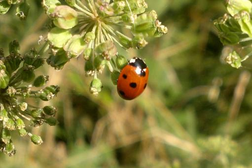 Free Stock Photo of Lady bird