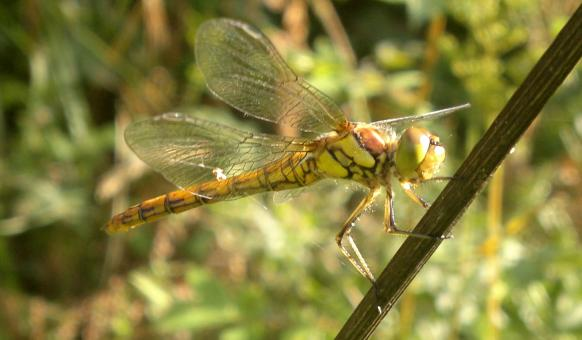 Free Stock Photo of Dragon fly