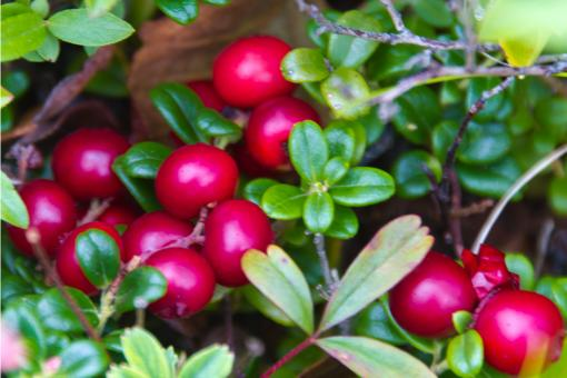 Free Stock Photo of  lingonberry