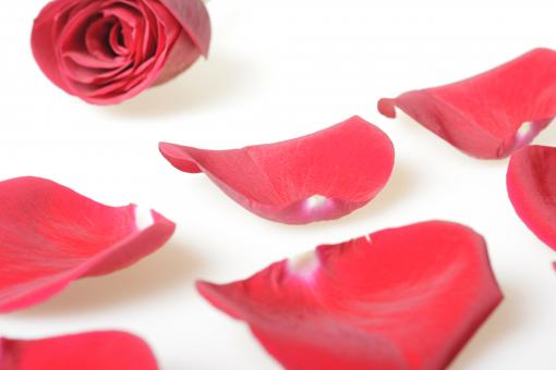 Free Stock Photo of Rose petals