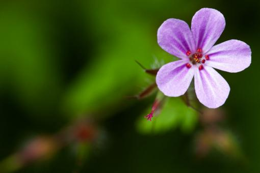 Free Stock Photo of Geranium Robertianum