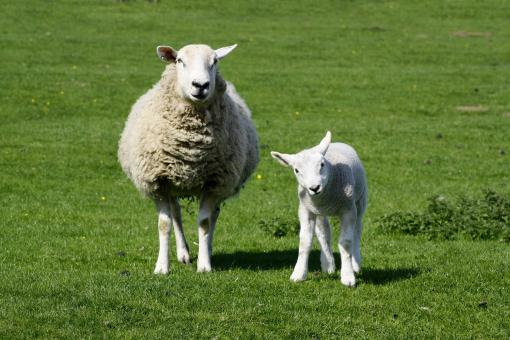 Free Stock Photo of Ewe and lamb