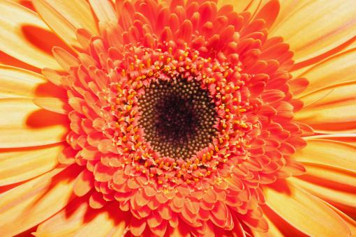 Free Stock Photo of Gerbera