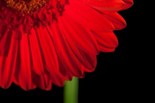 Free Stock Photo of gerbera flower