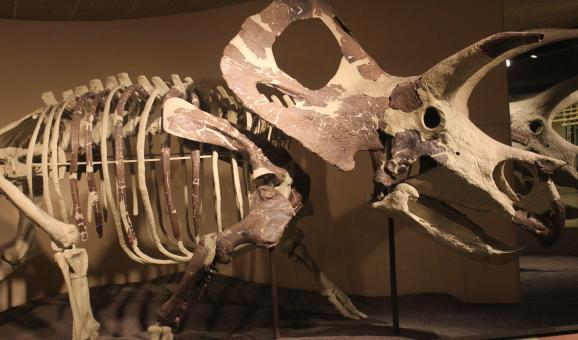 Free Stock Photo of Triceratops Skeleton