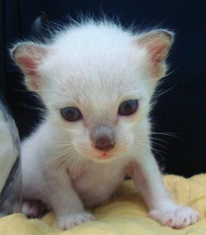 Free Stock Photo of Albino Burmese Kitten
