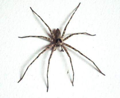 Free Stock Photo of Large House Spider