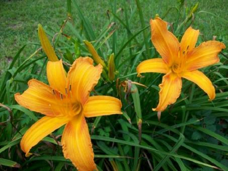 Free Stock Photo of Orange Day Lily with Bronze