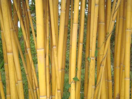 Free Stock Photo of Golden Bamboo