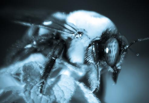 Free Stock Photo of Bumble bee macro