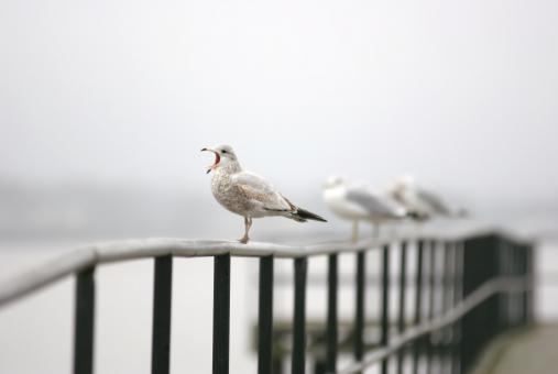 Free Stock Photo of Seagull singing