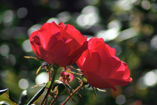 Free Stock Photo of Two red roses