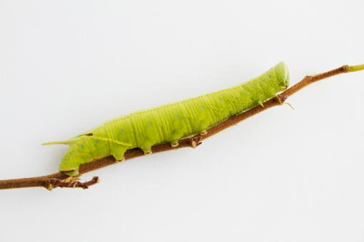 Free Stock Photo of Caterpillar on a twig