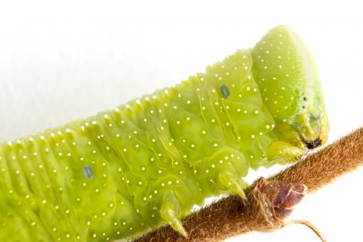 Free Stock Photo of Caterpillar on a twig - close-up