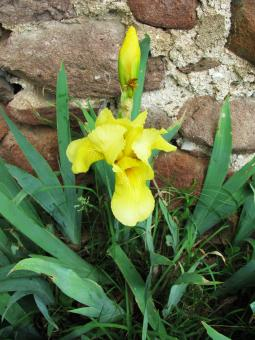 Free Stock Photo of Yellow iris in May
