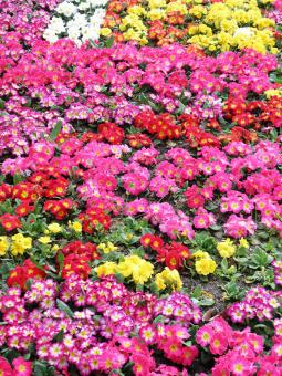 Free Stock Photo of Colorful primroses