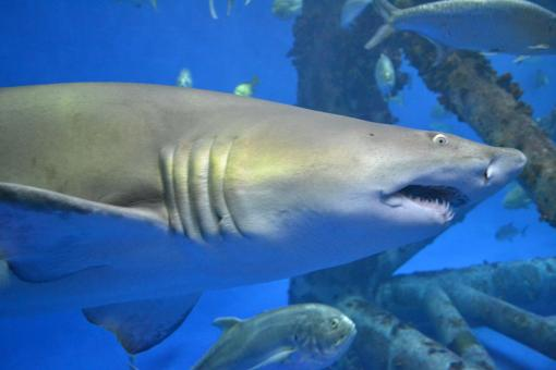 Free Stock Photo of Shark Aquarium