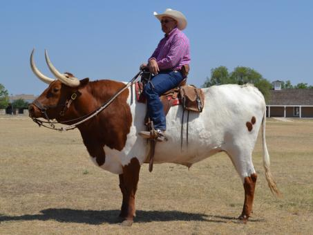 Free Stock Photo of Longhorn Bull Rider