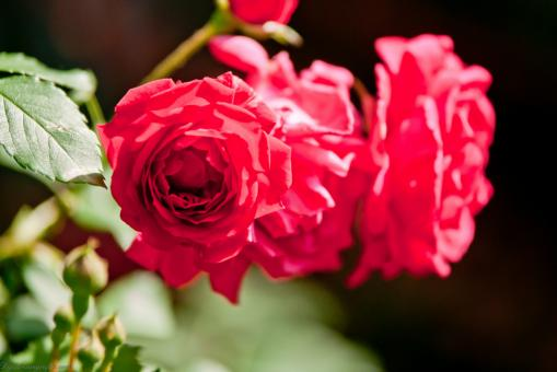 Free Stock Photo of Red Roses