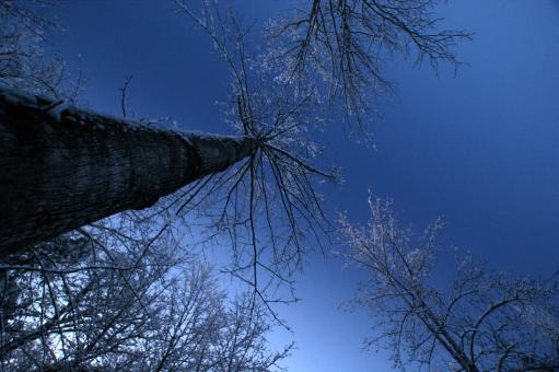 Free Stock Photo of Tall trees looking up to the morning sky