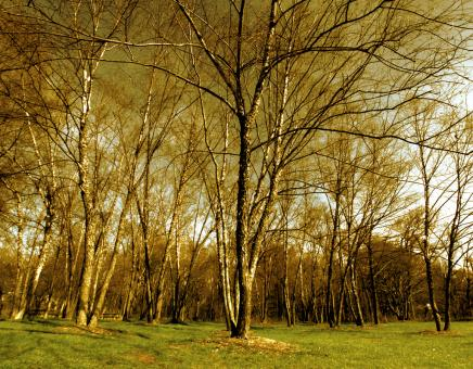 Free Stock Photo of Birch tree forest