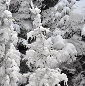 Free Stock Photo of Pine trees covered in snow