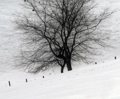 Free Stock Photo of Black and White Trees covered in snow