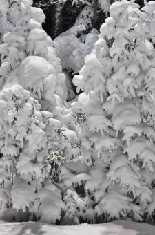 Free Stock Photo of Trees in snow