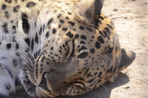 Free Stock Photo of Leopard napping