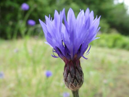 Free Stock Photo of Cornflower in it's majesty