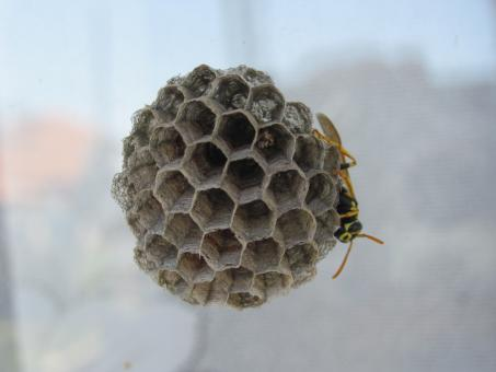 Free Stock Photo of Wasp on a nest