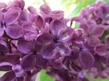Free Stock Photo of Lucky lilac