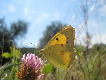 Free Stock Photo of Yellow butterfly on a pink flower